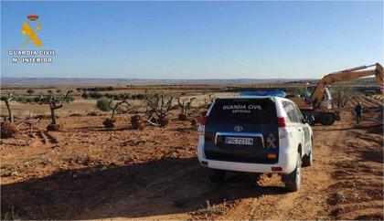 El SEPRONA localiza en Cosuenda 48 olivos extraídos sin permiso para su comercialización