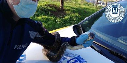 Atrapan una boa constrictor que se escapó de una casa del distrito de Tetuán