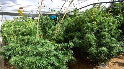 Golpe a la mayor red de marihuana: 52 cultivos falsamente legales, 372.000 plantas y 430 millones de negocio