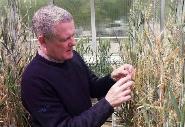 El profesor asociado Ken Chalmers, de la Universidad de Adelaide, inspecciona el grano cultivado en ensayos en invernadero