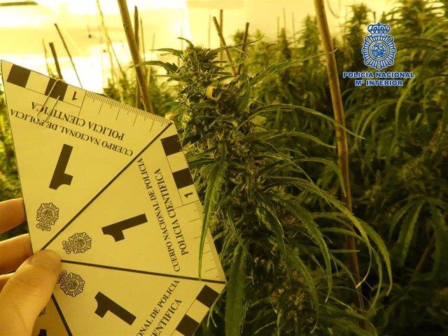 """Nota De Prensa La Policía Nacional Desmantela Un Cultivo """"Indoor"""" En Bargas Que Era Capaz De Producir Más De 200 Kilos De Marihuana"""