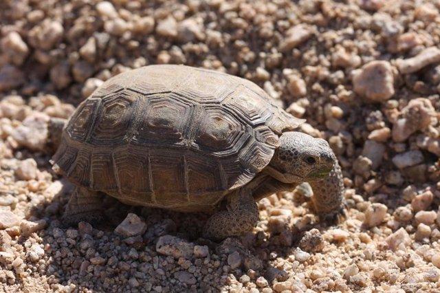 Tortuga en el desierto de Mojave