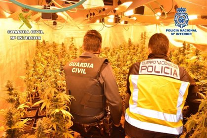 Detenidas en Guadalajara seis personas por cultivar más de 5.500 plantas de marihuana