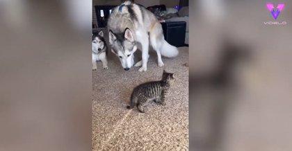 DESCONECTA.-Este gatito no tiene reparos en molestar una y otra vez a los huskies con los que convive