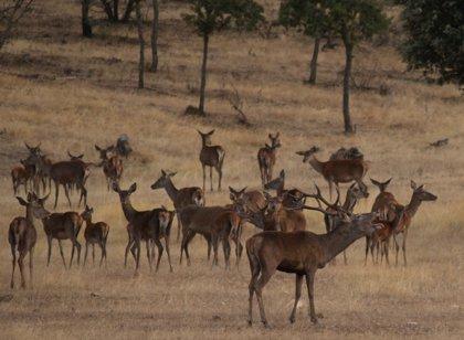 """ONG ecologistas piden a la caza que asuma su """"responsabilidad"""" en la sobrepoblación de jabalíes y ciervos en Monfragüe"""