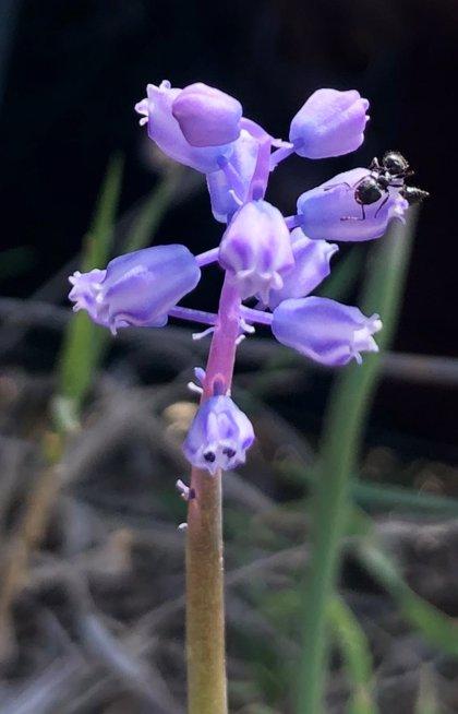 La Junta rescata en Málaga la Muscari parviflorum, una planta que no se encuentra en otro lugar de la península