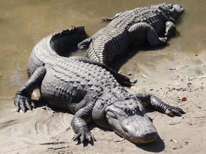 Los caimanes también regeneran sus colas como los pequeños reptiles