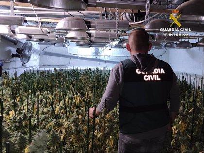 Desmantelada una plantación de marihuana con 1.600 plantas en el sótano de un restaurante de Teulada