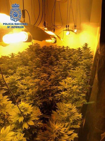 Detenidos dos jóvenes por gestionar una plantación de marihuana con 85 plantas en una vivienda de Badajoz