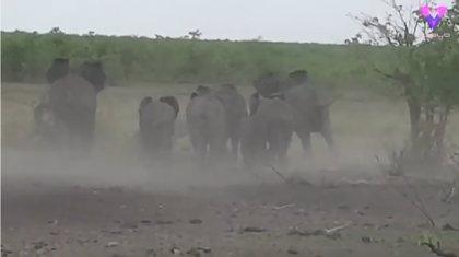 Filman a un grupo de elefantes persiguiendo a un grupo de leones en un safari