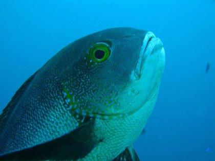 Un pargo octogenario bate récord de longevidad entre los peces de coral
