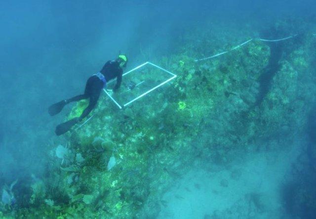 Estudio de la nueva alga descubierta en arrecifes del Caribe