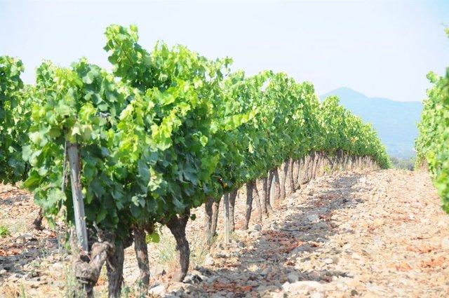 El 34% de les hectàrees de vinya de Catalunya són ecològiques