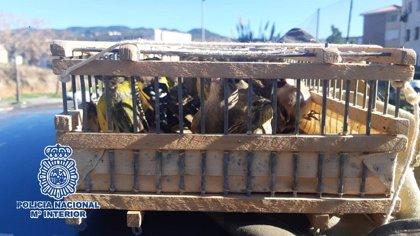 Sorprenden en Málaga a ocupantes de un coche con una veintena de aves fringílidas capturadas ilegalmente