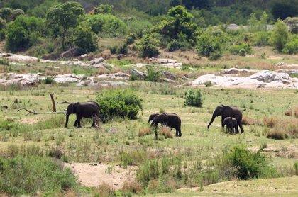 Namibia pone en venta algunos de sus elefantes para reducir su población