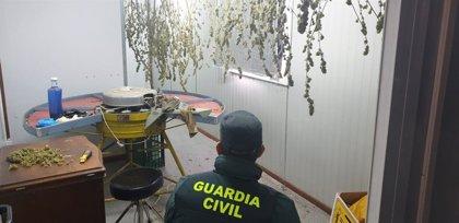 Guardia Civil localiza una plantación de marihuana en la Merindad de Estella y detiene a un varón