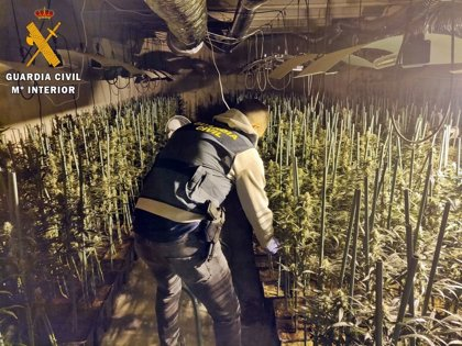 Desmantelado en el interior de una nave industrial de Don Benito un invernadero con 1.000 plantas de marihuana