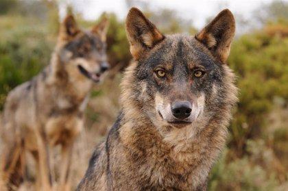 Medio Ambiente sitúa Asturias como ejemplo en gestión del lobo y rechaza declararlo especie cinegética