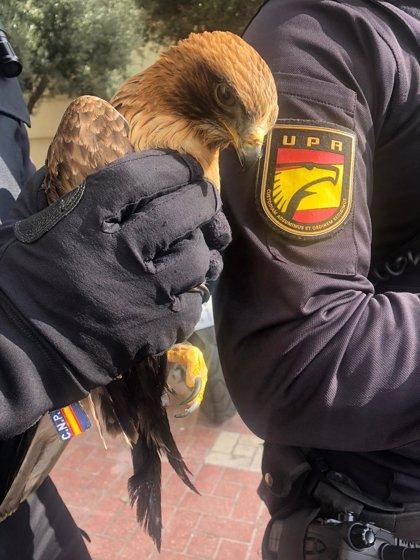 Rescatada de la carretera un águila calzada que no podía levantar el vuelo en la barriada de La Palmilla (Málaga)