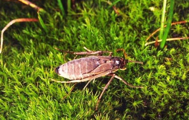 Una polilla no voladora, relacionada con las polillas de la ropa, de la isla subantártica Marion en el Océano Austral. Las islas subantárticas tienen una prevalencia inusualmente alta de insectos no voladores.
