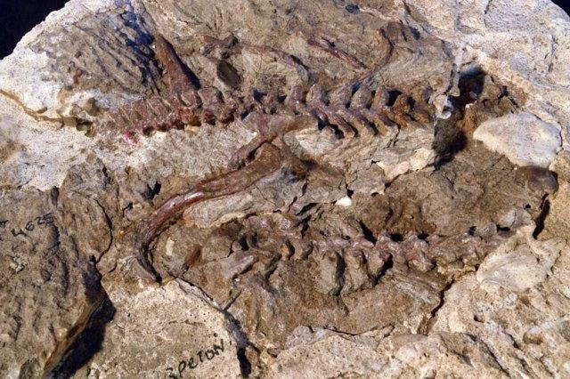 Un esqueleto parcial de Lagerpeton (caderas, piernas y vértebras) de unos 235 millones de años de Argentina. Un examen más detallado de este espécimen ayudó a vincular las características de los lagerpetidos a los pterosaurios.
