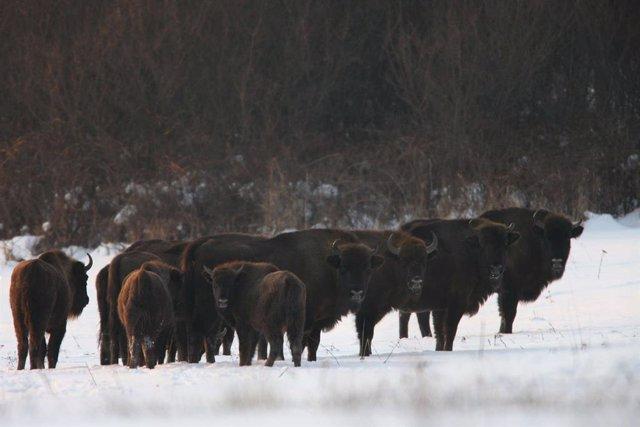 Bisontes europeos. Especies Amenazadas. Resilvestramiento. Cárpatos.