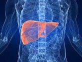 Foto: Investigadoras del CNIC desvelan que los neutrófilos controlan el reloj del hígado