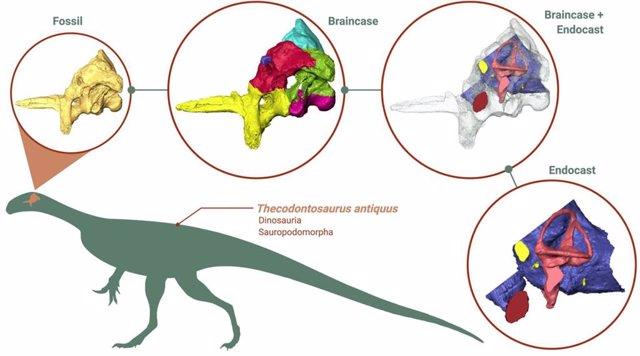 Reconstrucción 3D del cerebro de Thecodontosaurus antiquus.