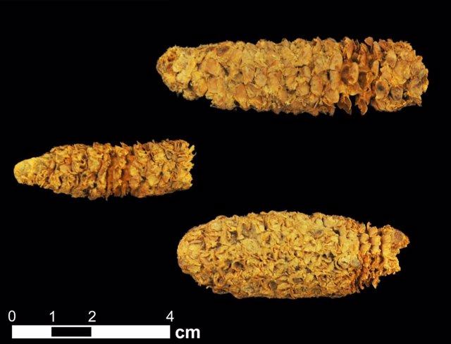 Mazorcas de maiz de 2.000 años recuperadas en Honduras