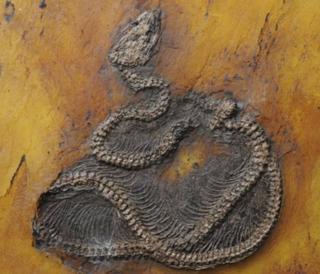 Fósil de pitón de hace 47 millones de años