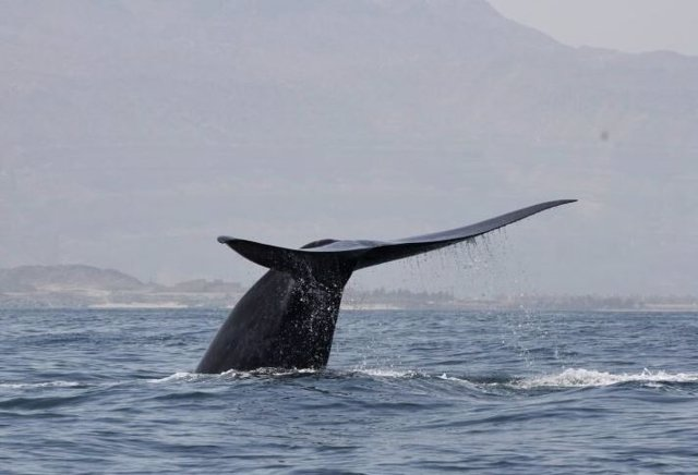 Una ballena azul del noroeste del Océano Índico se lanza a bucear en la costa del Mar Arábigo de Omán.