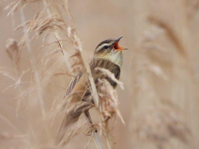 Contrariamente a una teoría de la década de 1970, el tipo de hábitat no afecta la frecuencia del canto, aunque en un hábitat densamente vegetado, como aquí con la curruca común, las altas frecuencias tienden a atenuarse.