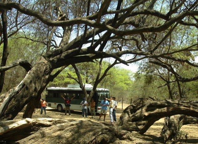 Árbol milenario de Pomac en la Reserva Natural de Chaparri, Chongoyape, bosque de Pomac, en la zona arqueológica de Batán Grande y Laquipamp