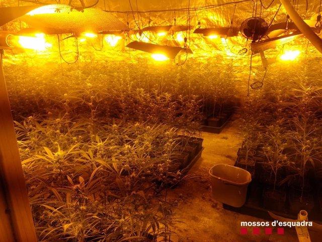 Dos detinguts a Cabrera d'Anoia per cultivar marihuana en una casa.