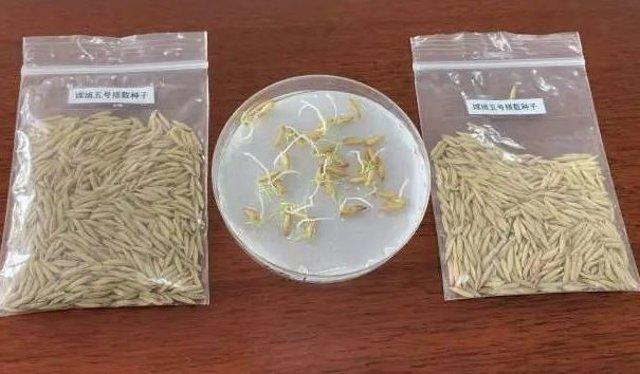 Semillas de arroz que han brotado en órbita lunar