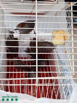 Ocells protegits que s'han intervingut a Mataró (Barcelona)