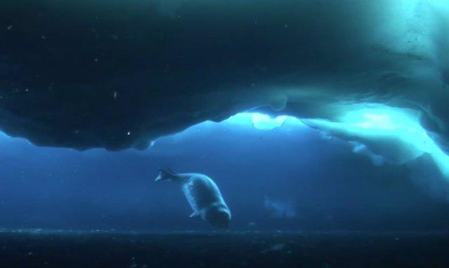 Foca de Wedell bajo el hielo antártico