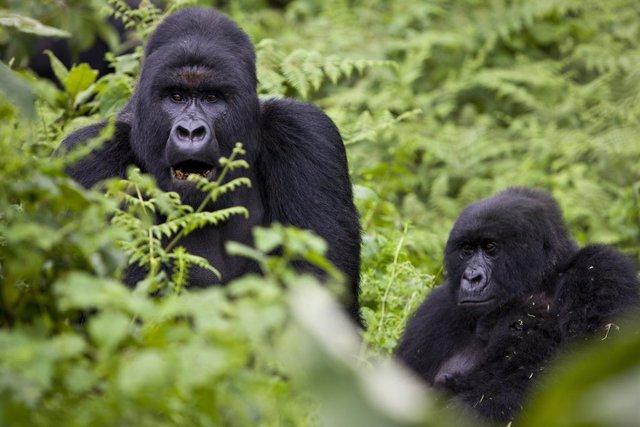 Gorilas de montaña en el Parque Nacional de Virunga, en República Democrática del Congo (RDC)