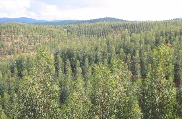Imagen de un eucaliptal en la provincia de Huelva.