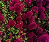 Foto: Investigadores identifican productos naturales con potencial para interrumpir la propagación de tres clases de virus