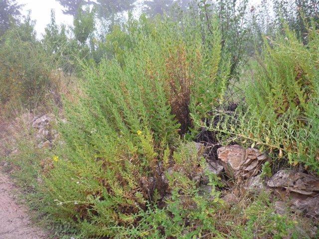 Las hojas de Inula viscosa, un arbusto mediterráneo perenne, contienen un compuesto que mata a las 'amebas comecerebros'.