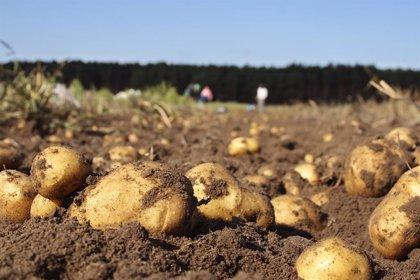 Levantan la prohibición de plantar patatas en nueve ayuntamientos, pero la plaga aparece en Arteixo