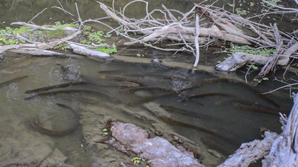 Anguilas eléctricas cazan en manada como los lobos
