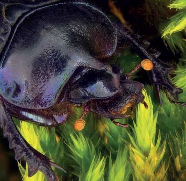 Informe de la UICN sobre el escarabajo pelotero