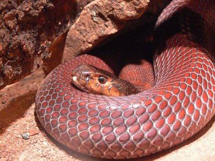 Serpientes evolucionan de forma magnética para ser resistentes al veneno