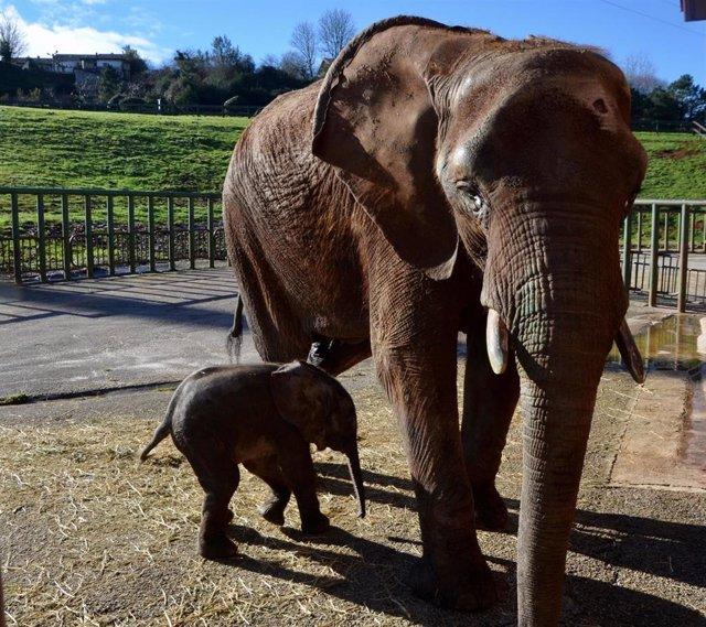 Nueva cría de elefante africano nacida en Cabárceno