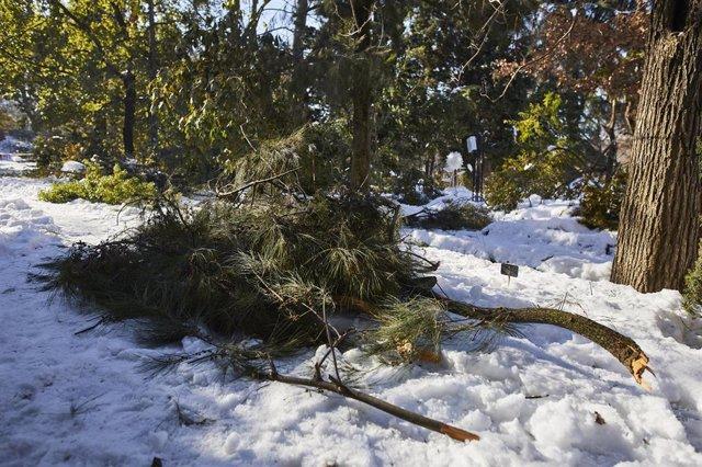Varios árboles del Real Jardín Botánico caídos debido a la gran nevada provocada por la borrasca 'Filomena', en Madrid, (España).