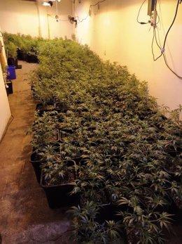 Plantes de marihuana decomissades d'un local en el districte barceloní de Sant Martí, a Barcelona.