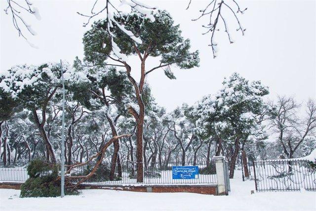 Árbol caído durante la gran nevada provocada por la borrasca 'Filomena'