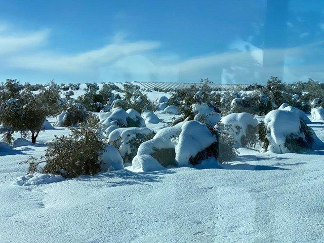 Olivos afectados por la nieve.